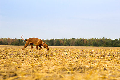 Vizsla in grainfield - p739m1051118 by Baertels