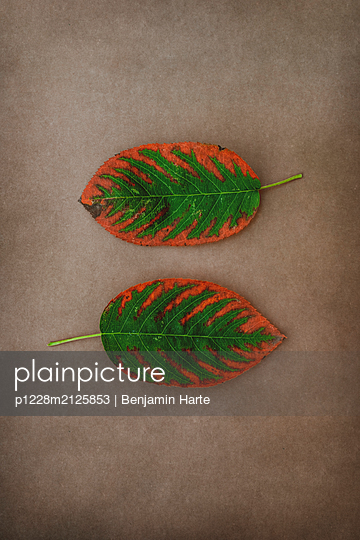 Pair of Autumn leaves - p1228m2125853 by Benjamin Harte