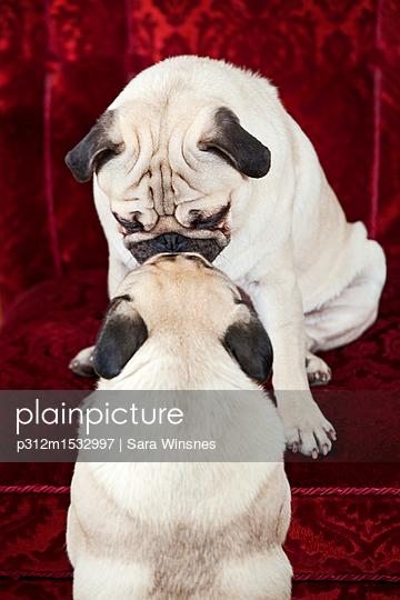 plainpicture   Photo library for authentic images - plainpicture p312m1532997 - Pug dogs touching on sofa - plainpicture/Johner/Sara Winsnes