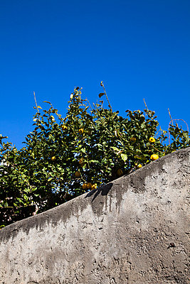 yellow lemons on tree - p1062m794482 by Viviana Falcomer
