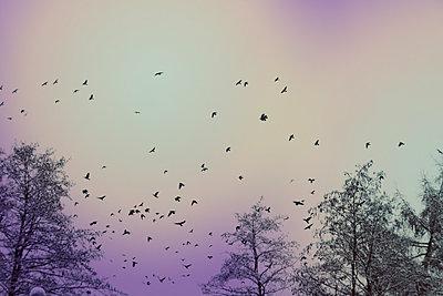 Germany, Wuppertal, Flock of birds flying over bare forest trees in winter - p300m2143549 by Dirk Wüstenhagen