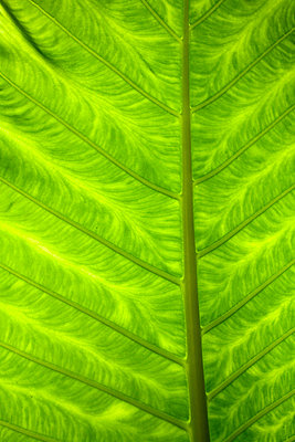 A green palm leaf close-up. - p31214778f by Vince Reichardt