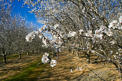 Agriculture, Almond orchard in full bloom in late Winter, Glenn County, California, USA. - p442m936635f by Kathy Coatney