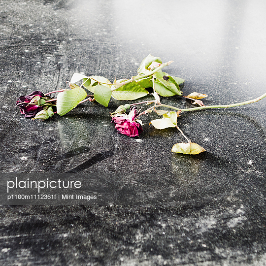 Two dead roses lying on a black car hood. A tribute.