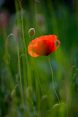 Germany, Baden W¸rttemberg, Poppy (Papaver), close-up - p3008717f by Silke Magino