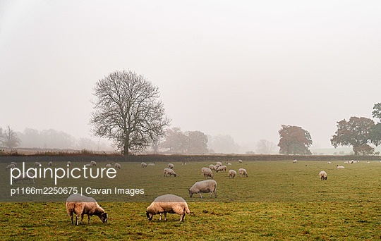 White sheep grazing in an england farm on a foggy morning - p1166m2250675 by Cavan Images