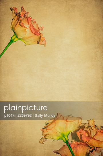Close-up of lisianthus flowers against a fawn background - p1047m2259792 by Sally Mundy
