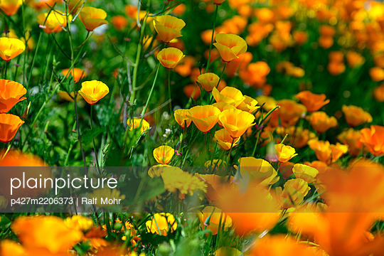 Poppies, close-up - p427m2206373 by Ralf Mohr