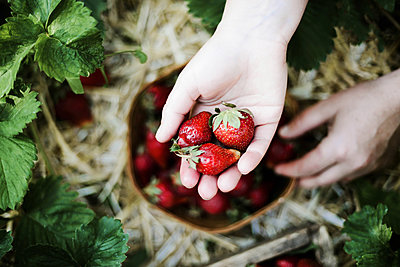 Closeup of a woman's hands holding fresh strawberries. - p1166m2078190 by Cavan Images