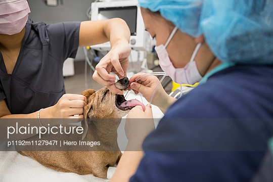 Veterinarians inserting tube in small dog - p1192m1127947f by Hero Images