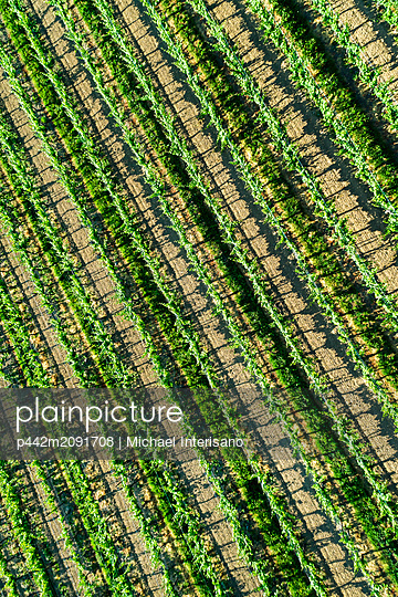 Aerial view looking straight down on rows of grapevines; Vineland, Ontario, Canada - p442m2091708 by Michael Interisano