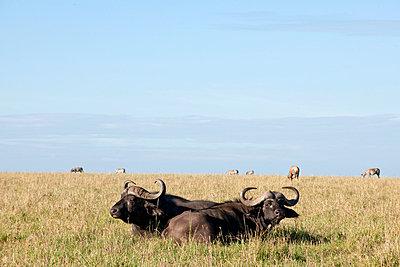 Two buffalos in grass - p5330257 by Böhm Monika