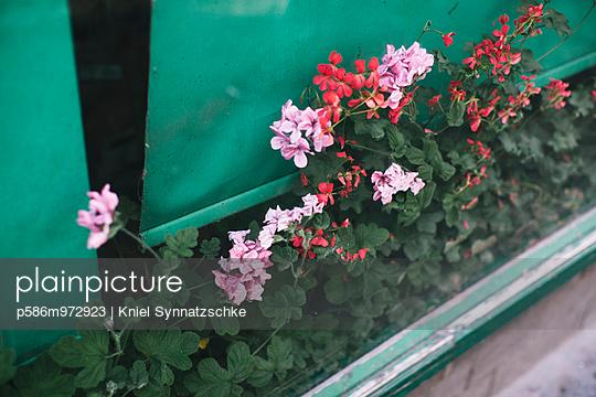 Blumen wachsen in einem Blumenkasten im Schaufenster - p586m972923 von Kniel Synnatzschke