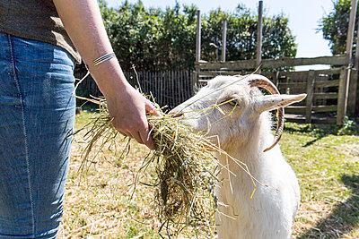 goat - p1043m1590257 by Ralf Grossek
