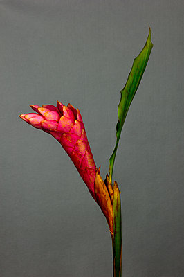 Ginger flower - p1088m1111668 by Martin Benner