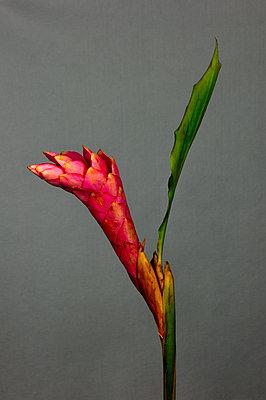 Ginger flower - p1088m1111668 by Martin Benner