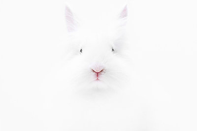 White rabbit - p8420064 by Renée Del Missier
