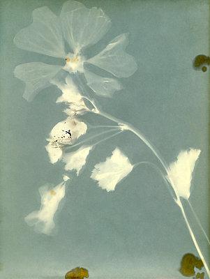Gepresste Blume - p945m2177736 von aurelia frey