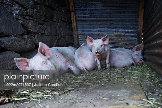 Schweine - p922m2071537 von Juliette Chretien