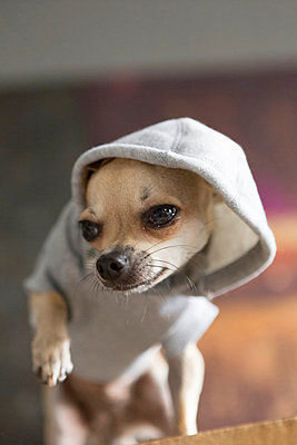 Chihuahua with hoodie - p1076m926070 by TOBSN