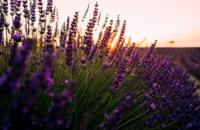 France, Alpes-de-Haute-Provence, Valensole, lavender blossoms on field at sunset - p300m2023819 von Gemma Ferrando