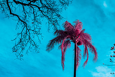 Infrared, Palm tree under blue sky - p1487m2150175 by Ludovic Mornand