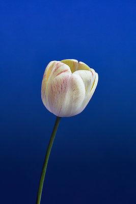 White tulip - p1673m2260784 by Jesse Untracht-Oakner