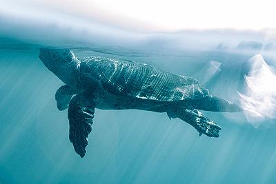 Giant tortoise underwater - p713m2289261 by Florian Kresse