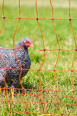 Free-range chicken - p739m916484 by Baertels