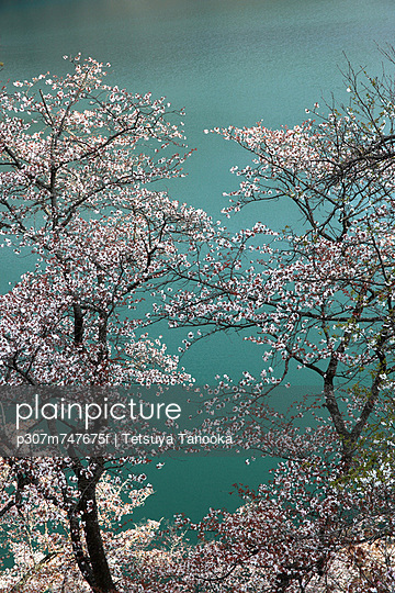 Cherry blossoms and lake in the background - p307m747675f by Tetsuya Tanooka