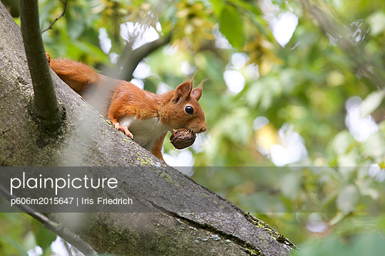 Eichhörnchen mit Walnuss - p606m2015647 von Iris Friedrich