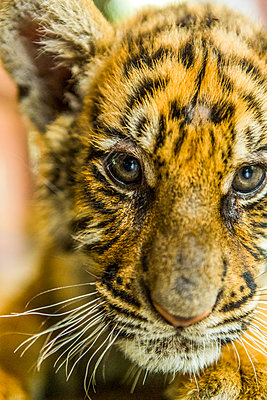 Tiger cub looking at camera - p1427m2077550 by Steve Smith