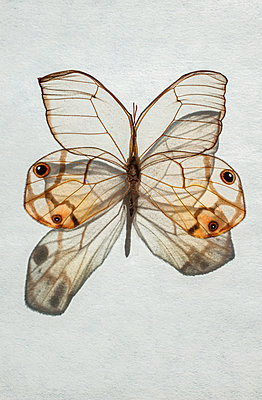 Transparent butterfly - p971m2181435 by Reilika Landen