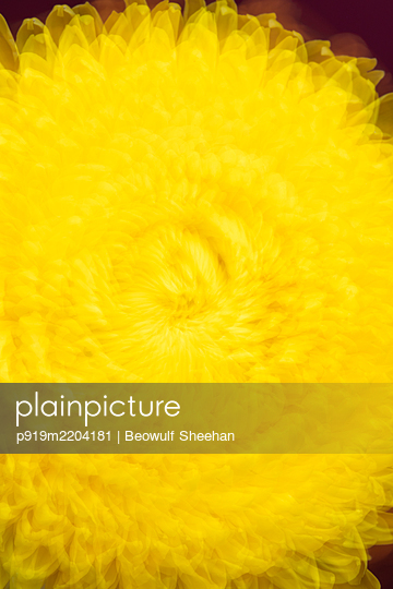 spinning yellow spider mum chrysanthemum flower - p919m2204181 by Beowulf Sheehan