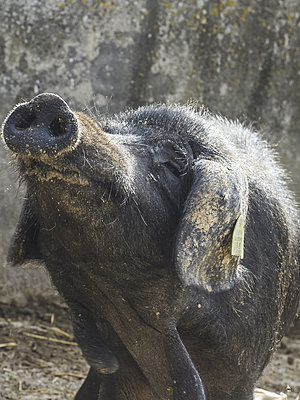Schweinchen - p1485m1572544 von susanne polzin