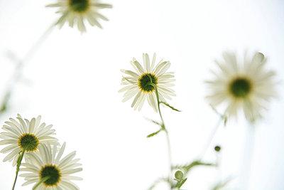 Flowers - p165m669956 by Andrea Schoenrock