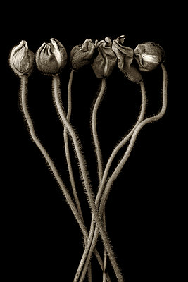 Bunch of poppies on black background - p977m1159480 by Sandrine Pic