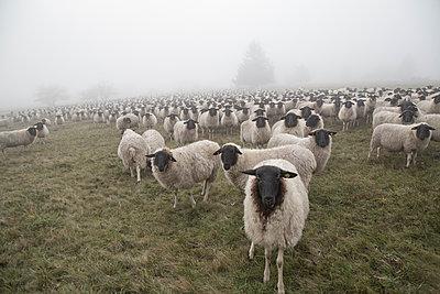 Schafe auf der Weide - p992m1508596 von Carmen Spitznagel