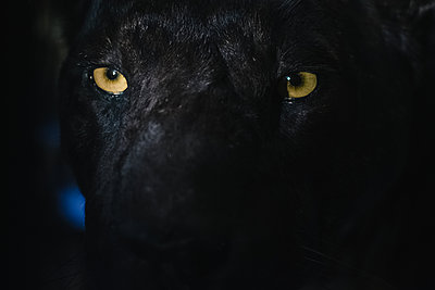 Black panther, exhibit - p1600m2215389 by Ole Spata