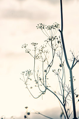 Withered wild flower at sunset - p879m2273312 by nico