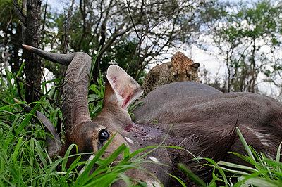 Leopard approaching Sitatunga carcass - p884m863366 by Sergey Gorshkov photography