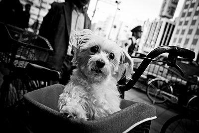A cute dog in Tokyo, Japan. - p934m1177241 by Dominic Blewett