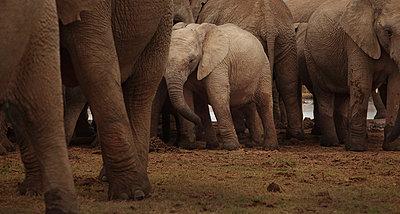 Addo-Elefanten-Nationalpark - p1172m955385 von Frank Tusch