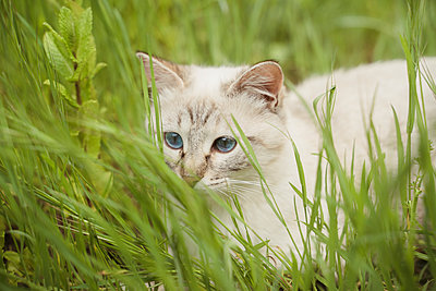 Portrait of white kitten lying in grass - p300m2188043 by VITTA GALLERY