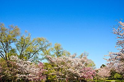 Cherry blossoms - p307m896921f by Daimei Kato