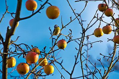 Kohlmeise im Apfelbaum - p324m1537852 von Bildagentur Hamburg