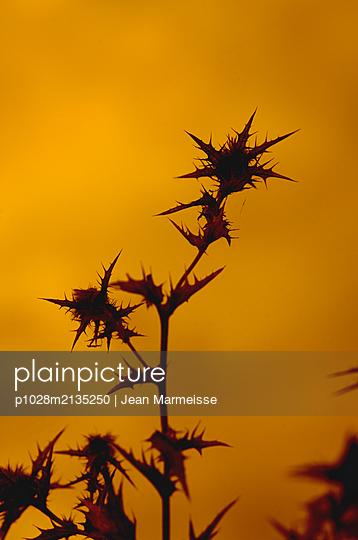 Saffron thistle backlight (Carthamus lanatus) - p1028m2135250 by Jean Marmeisse