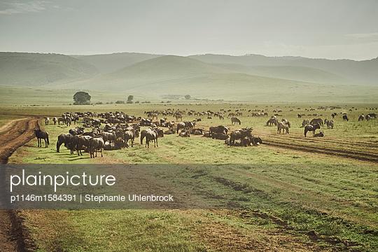 Gnuherde im Ngorongoro Krater - p1146m1584391 von Stephanie Uhlenbrock