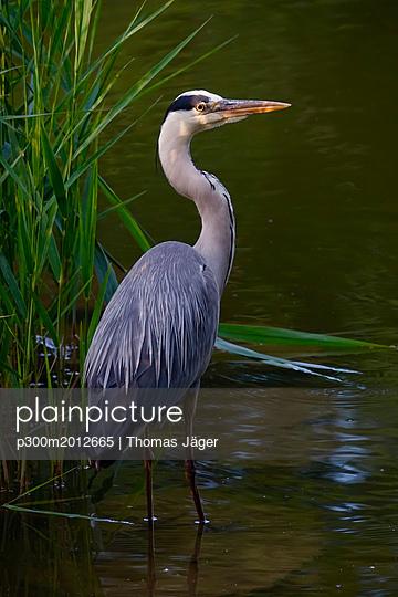 Portrait of grey heron - p300m2012665 von Thomas Jäger