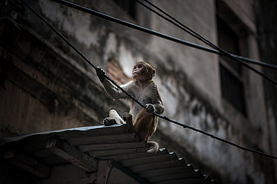 Monkey on a roof hanging electric wire - p1007m1144353 by Tilby Vattard